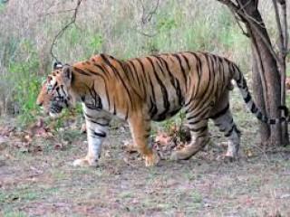 राजाजी रिजर्व में बाघों की निगरानी के लिए लगे 100 कैमरा ट्रैप